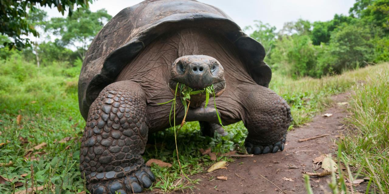 Tortugas gigantes aldabra